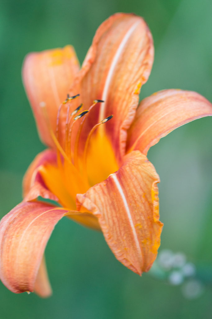 Lilies in the Neighborhood July 2016 Final-10