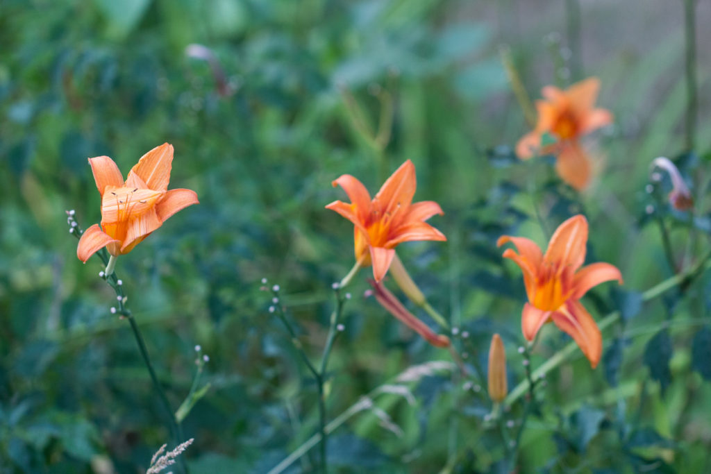 Lilies in the Neighborhood July 2016