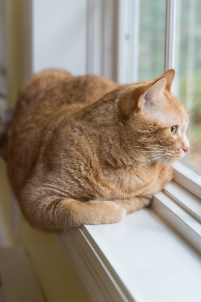 Apollo Orange Kitty at the Window | https://www.roseclearfield.com