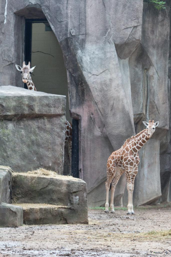 Baby Giraffe at Zoo a la Carte