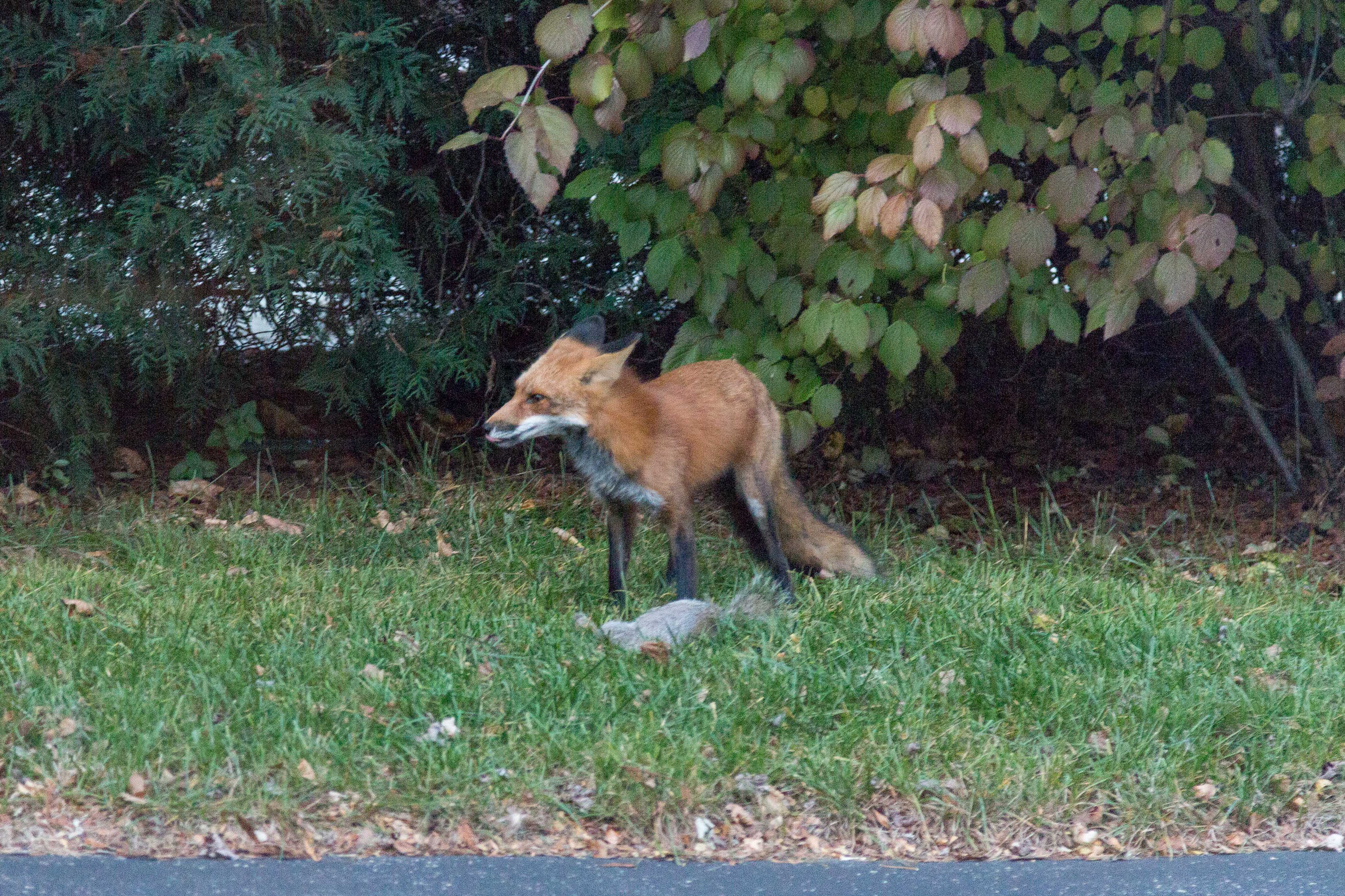 Fox in the Yard with a Squirrel - Southeast WI | https://www.roseclearfield.com
