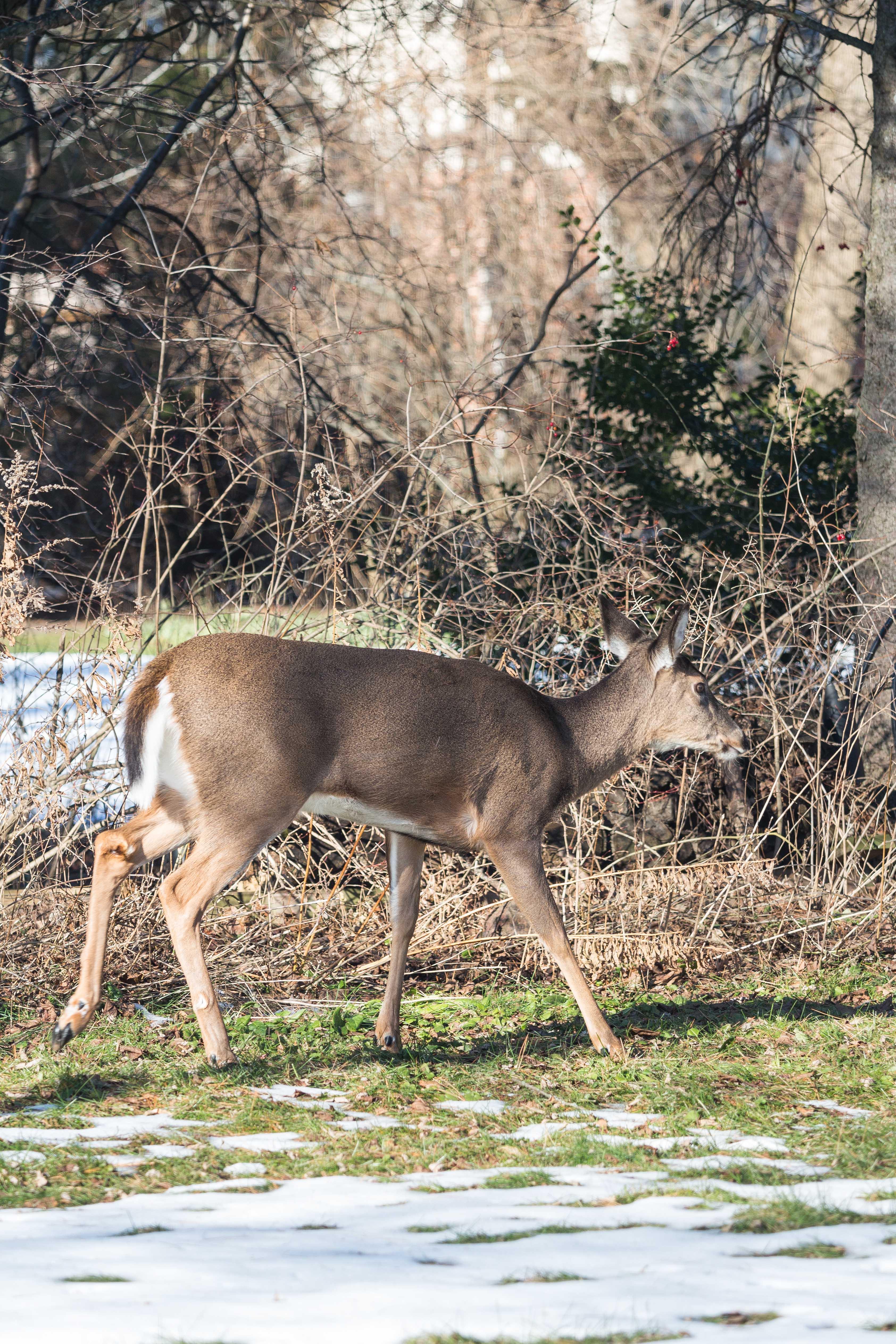 Deer in the Yard in Winter | https://www.roseclearfield.com