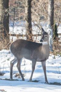 Deer in the Yard   https://www.roseclearfield.com