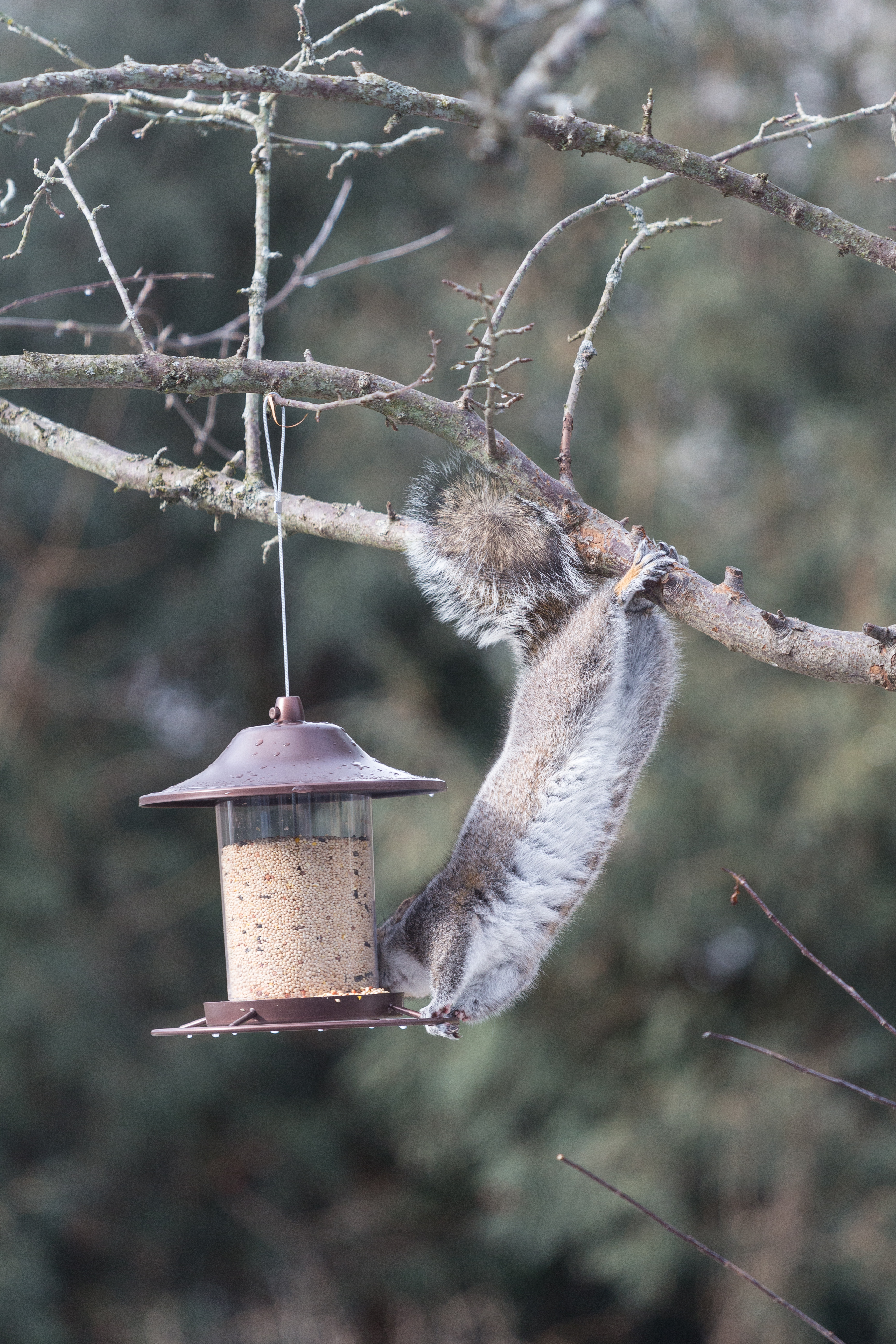 Squirrel at the Feeder | https://www.roseclearfield.com