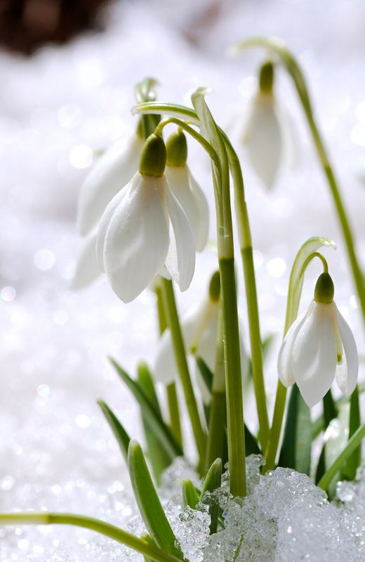 Early Spring Inspiration - David Beaulieu Snowdrops | https://www.roseclearfield.com