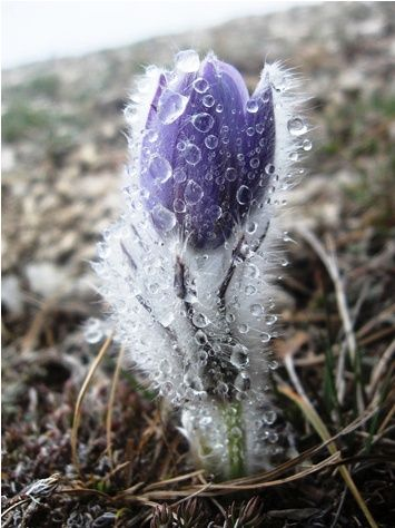 Early Spring Inspiration - Early spring flower covered with ice by Stanislav Kotik. | https://www.roseclearfield.com
