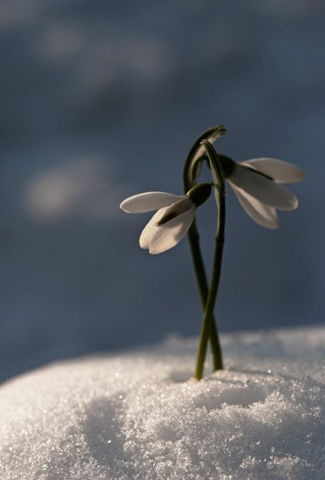 Early Spring Inspiration - White flower in the snow. | https://www.roseclearfield.com