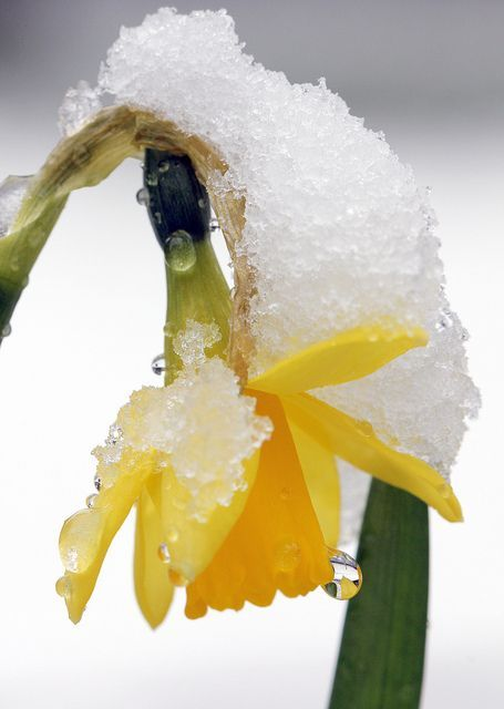 Early Spring Inspiration - Spring daffodil after snow by Jim Higham https://www.flickr.com/photos/jimhigham/8586772702/ | https://www.roseclearfield.com