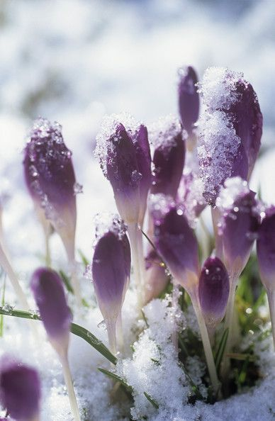 Early Spring Inspiration - Purple flowers in the snow. | https://www.roseclearfield.com