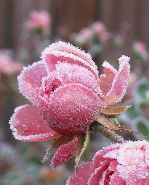 Early Spring Inspiration - Frosted rose. | https://www.roseclearfield.com
