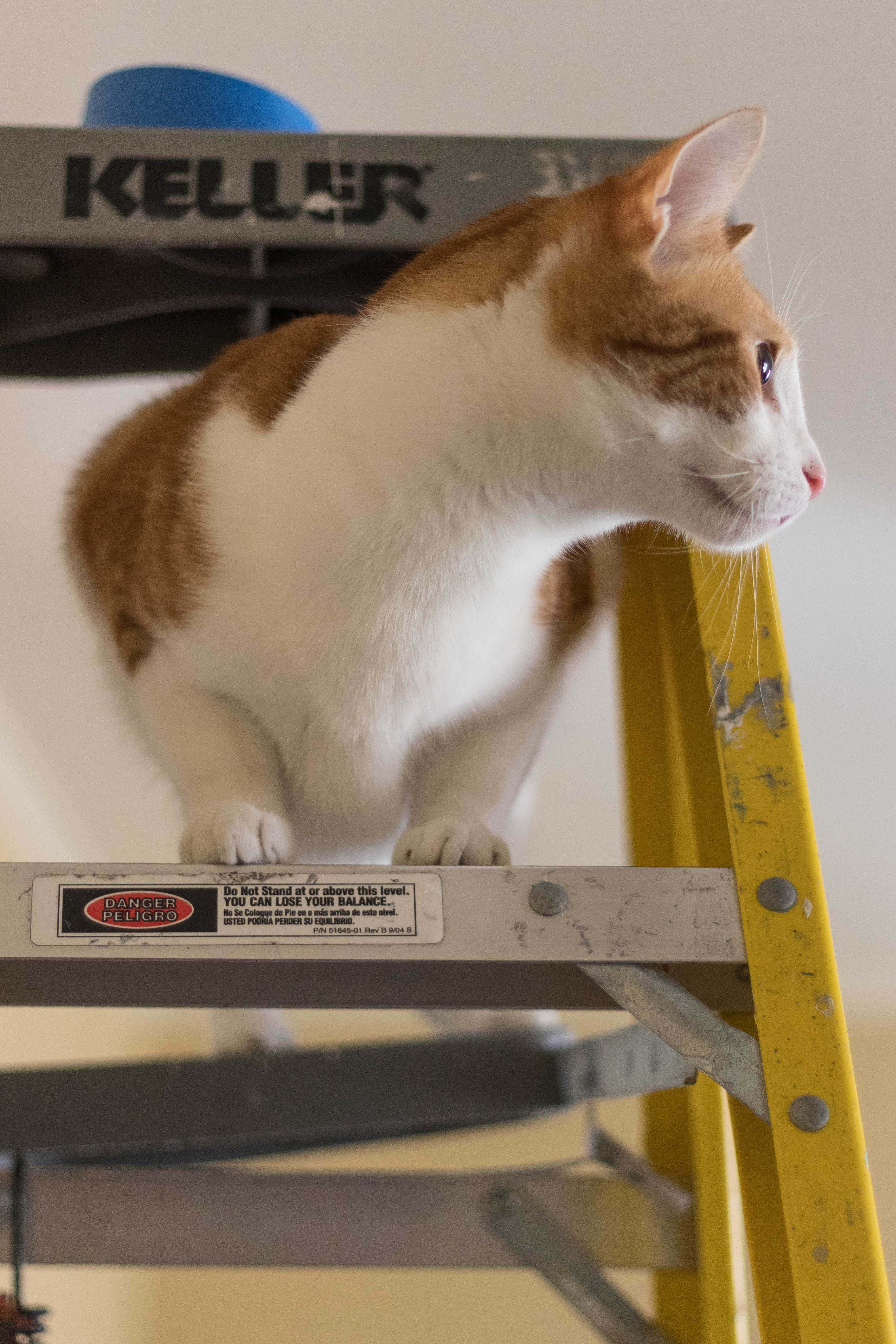 Hobbes on the 8' Ladder | https://www.roseclearfield.com