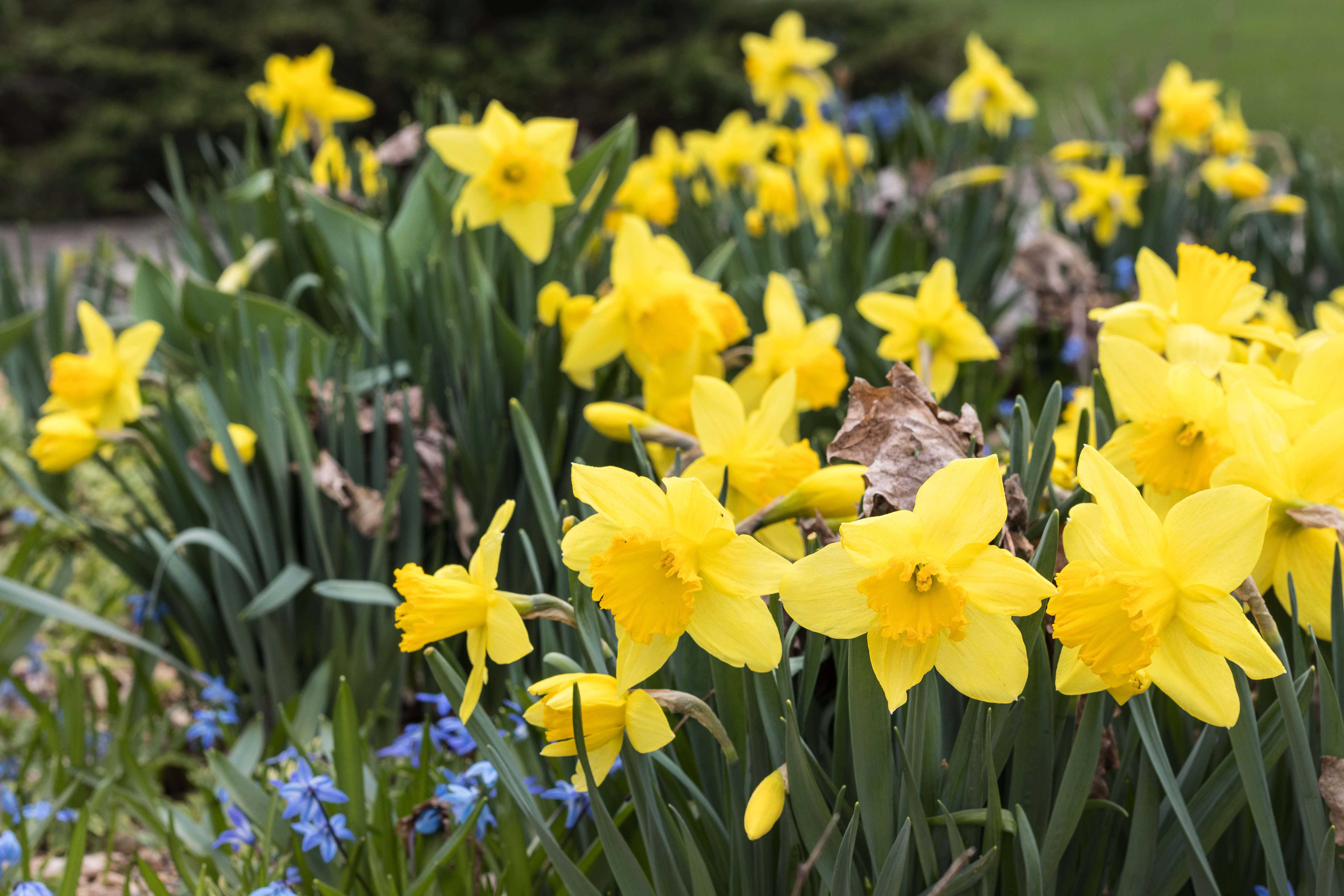 Daffodils   https://www.roseclearfield.com