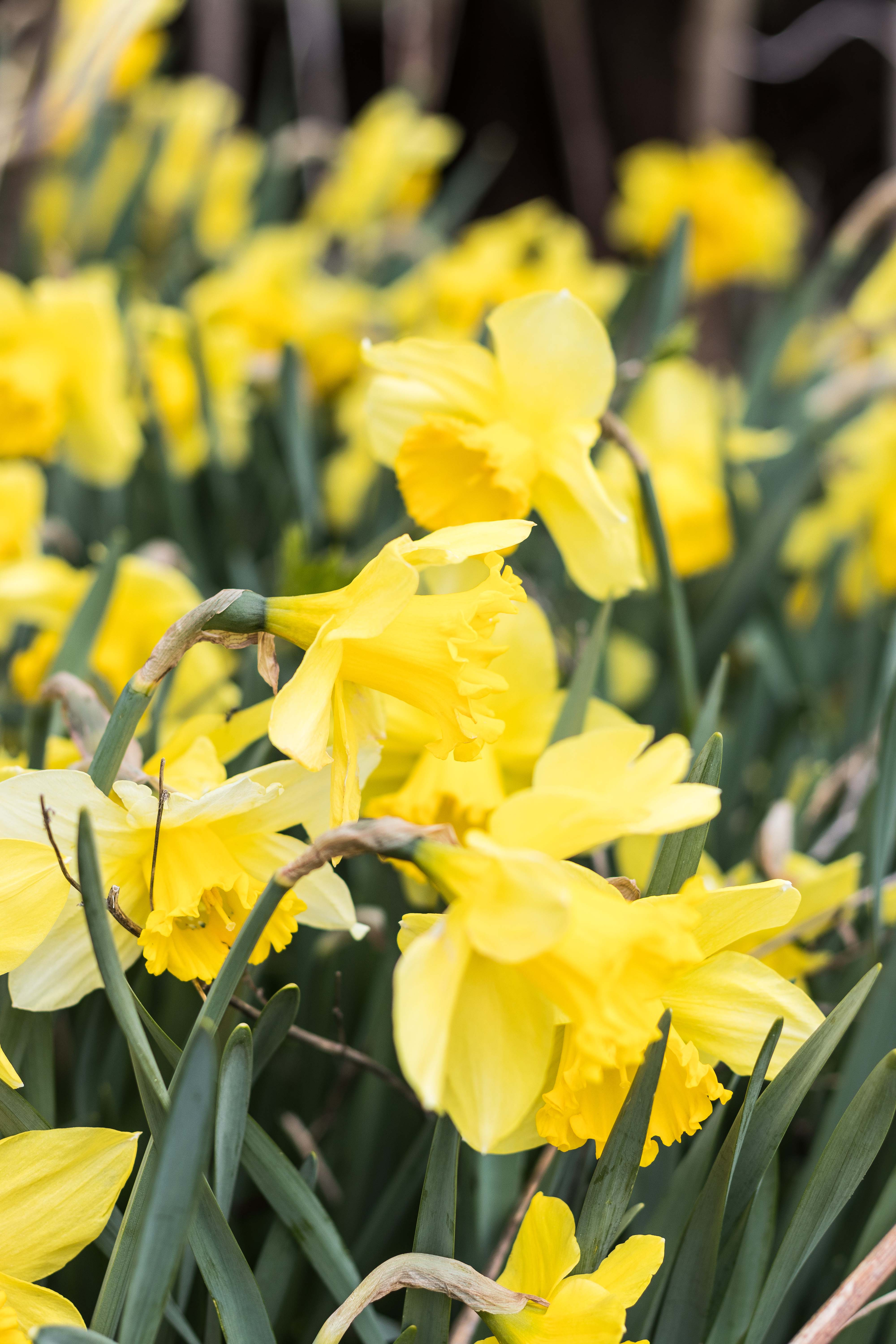 Daffodils | https://www.roseclearfield.com