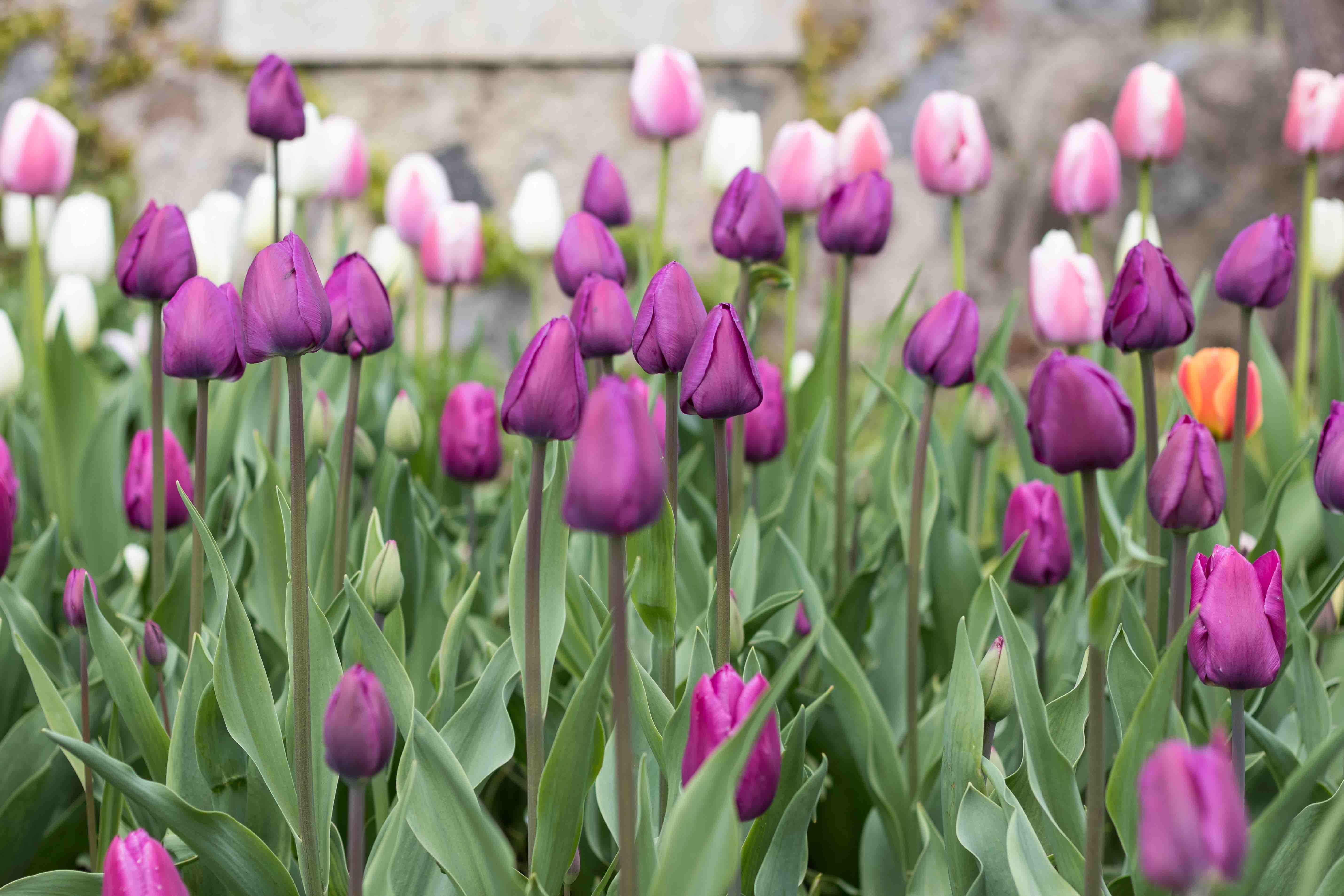 Tulips at the Boerner Botanical Gardens May 2017   https://www.roseclearfield.com
