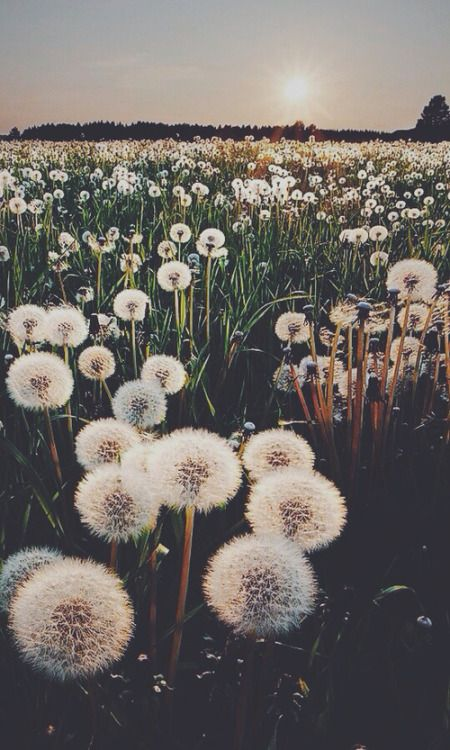 Photography Inspiration - Dandelions in a Field Source Unknown | https://www.roseclearfield.com