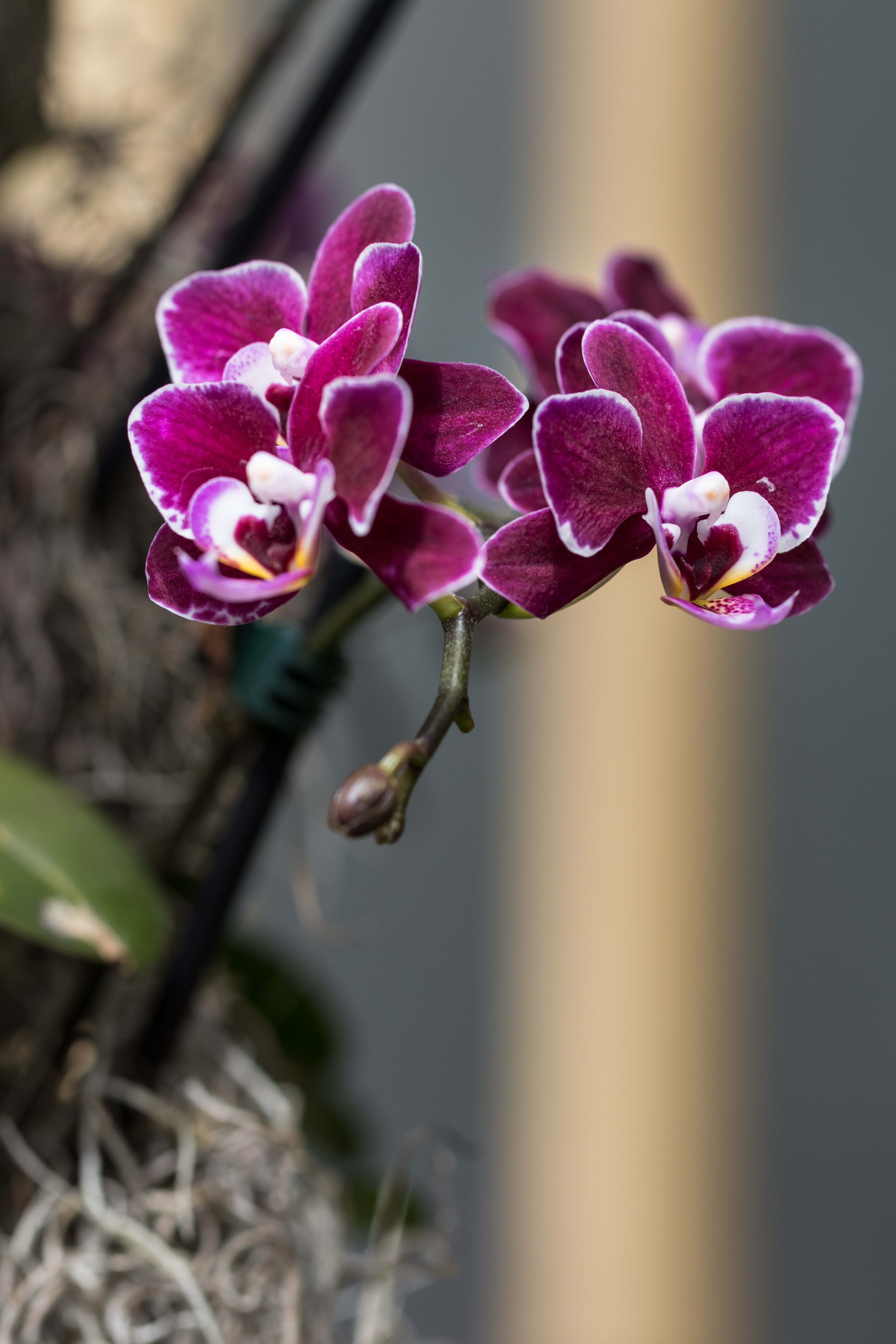 Asia in Bloom Orchid Show, Chicago Botanic Garden | https://www.roseclearfield.com