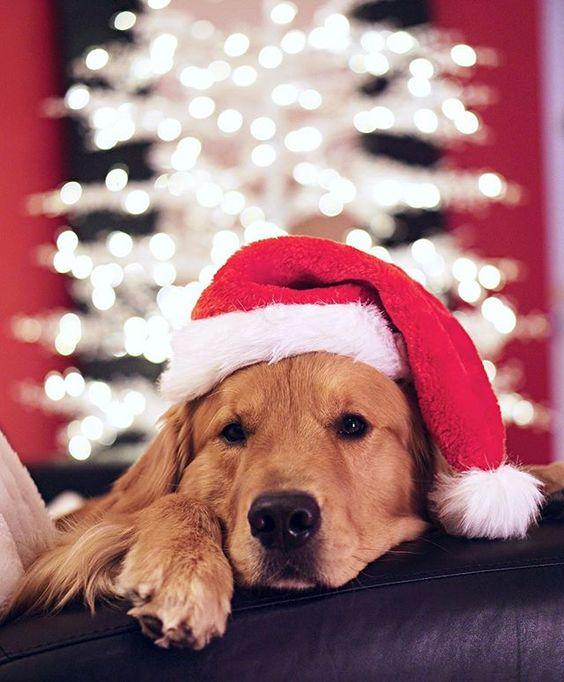 20 Creative Holiday Photo Ideas - Rufio the Golden Retriver livingthatgoldenlife on Instagram | https://www.roseclearfield.com