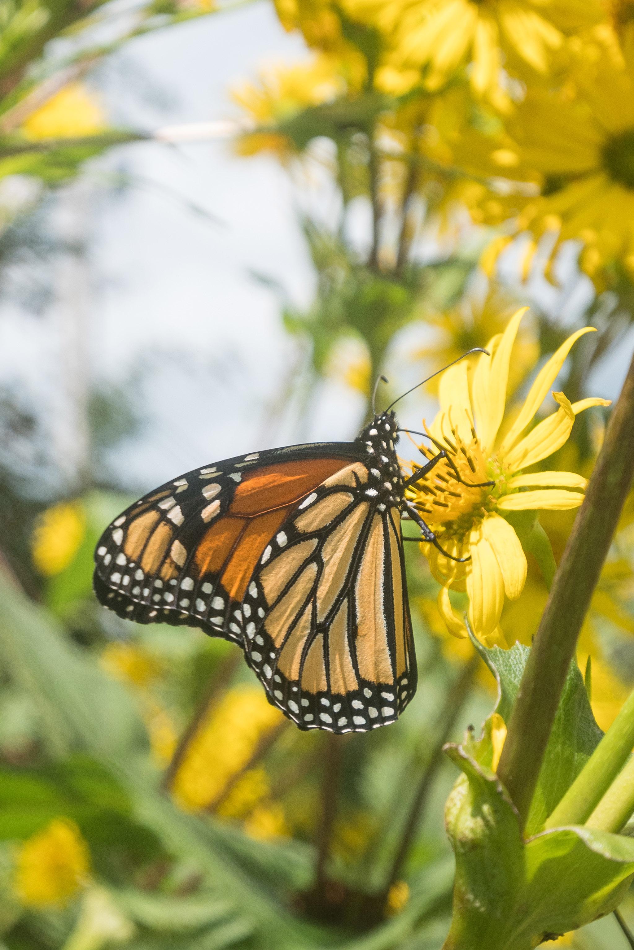 Monarch Butterfly on a Wildflower