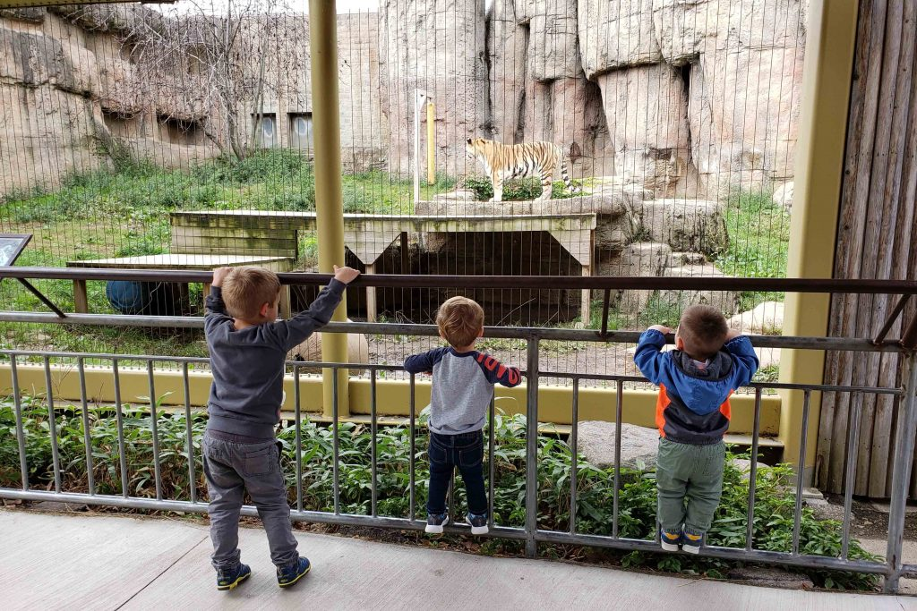 Watching the Tiger at the Zoo