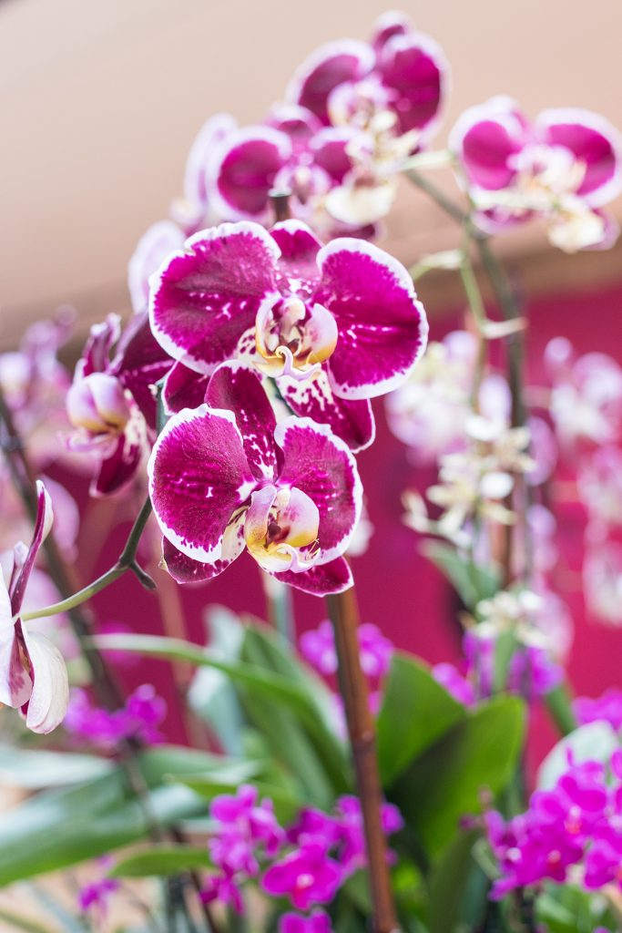 Brilliance Orchid Show at the Chicago Botanic Garden